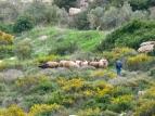 shepherd, sheep, and goats