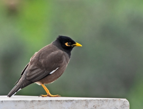 CommonMyna (1 of 1)